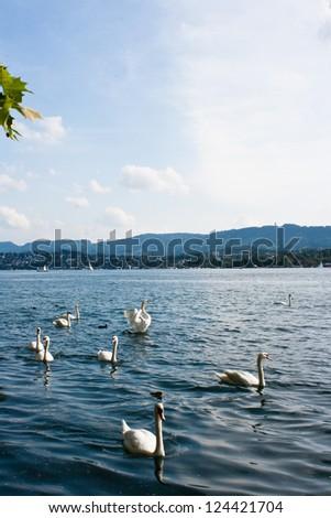 Beautiful white swans floating - stock photo