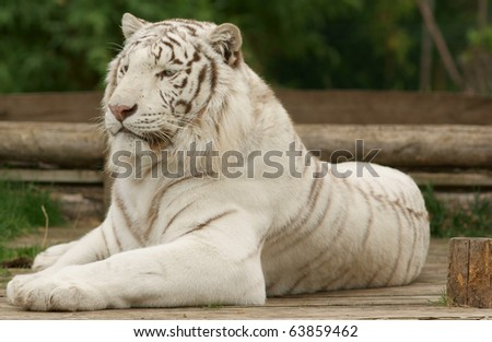 Beautiful white tiger closeup - stock photo
