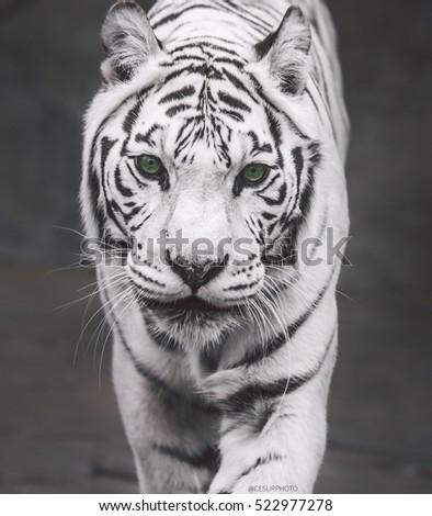 White Tiger Green Eyes