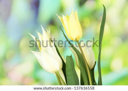 Beautiful white tulips on bright background - stock photo