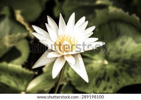 Beautiful White Water Lily , Lotus flower - stock photo