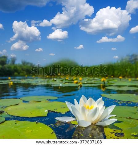 beautiful white water lily on a lake - stock photo