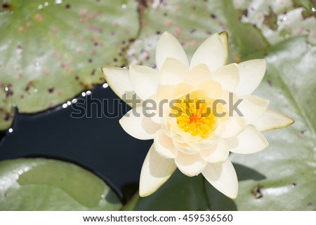 Beautiful white waterlily or lotus flower blooming in the pond
