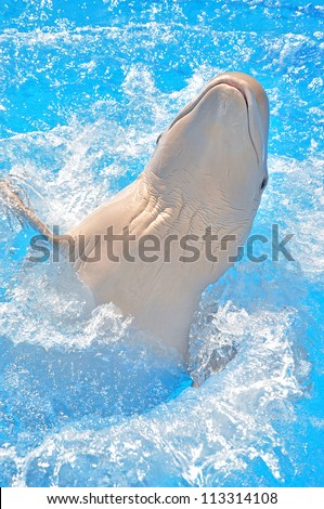 Beautiful white whale circling in the water in the pool - stock photo