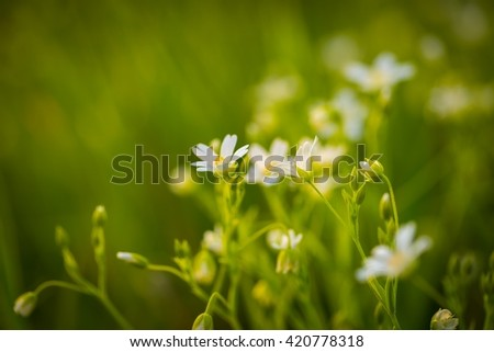 Beautiful white wild flowers blooming (chickweed flowers). Chickweed flowers blooming at spring - stock photo
