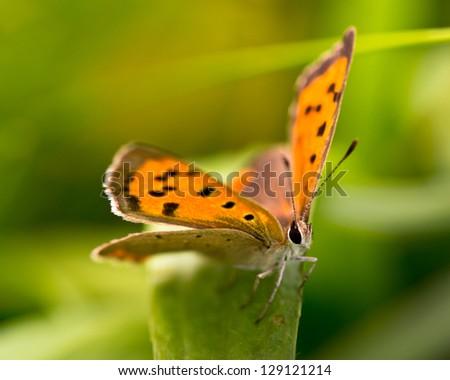 Beautiful Wild Butterfly (Lycaena phlaeas) - Feeding on Flowers - stock photo