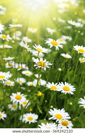 Beautiful wild daisies in the rays of the sun rays - stock photo