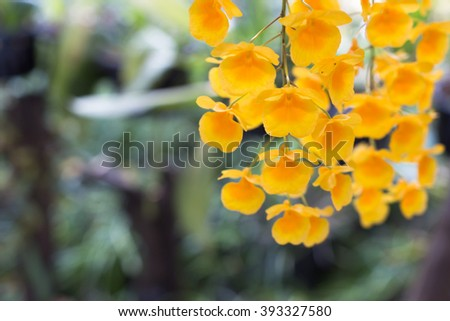 Beautiful wild flower orchid,Dendrobium lindleyi Steud ,Rare species of wild orchids