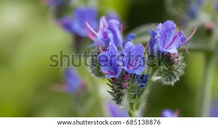Beautiful wild flowers landscape poisonous plant stock photo beautiful wild flowers landscape poisonous plant echium vulgare vipers bugloss and blueweed flowering plant in mightylinksfo Images