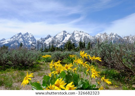 Beautiful wild flowers with mountains at  the Grand Teton National Park