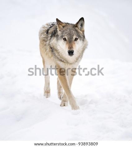 Beautiful wild gray wolf in winter - stock photo