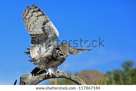Beautiful wild great horned owl