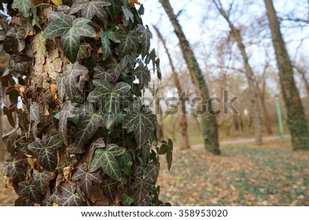 Beautiful, wild ivy on tree bark in the park