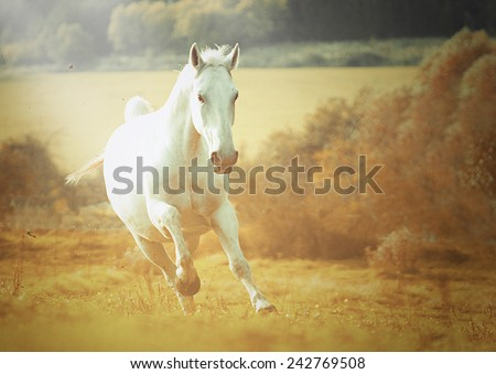 beautiful wild lipizzaner horse stallion running in autumn nature background - stock photo