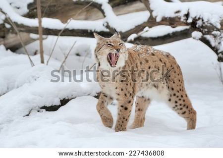Beautiful wild lynx in winter time - stock photo