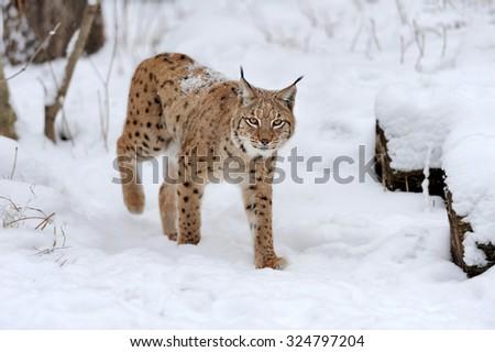 Beautiful wild lynx in winter time - stock photo