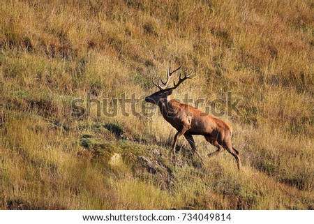 beautiful wild red deer stag ( Cervus elaphus )