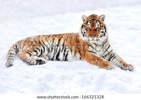 Beautiful wild siberian tiger on snow - stock photo