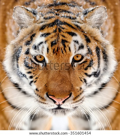 Beautiful wild siberian tiger portrait on snow - stock photo