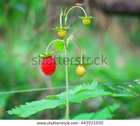 Beautiful wild strawberry berries growing in natural environment. Macro close-up. - stock photo