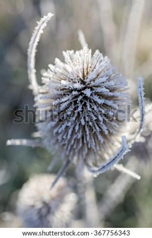 Beautiful wild thistles covered in frost on a bright sunny morning