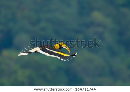 Beautiful wings of Great Hornbill (Buceros bicornis) flying in nature - stock photo