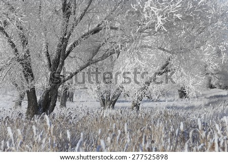 beautiful winter landscape trees in hoarfrost in the snow-covered field on a sunny day