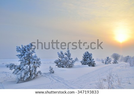 Beautiful winter landscape with small pines. Bright setting sun and the tracks in the snow.
