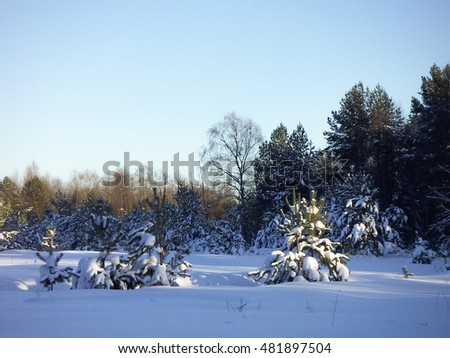 Beautiful winter landscape with snow clean and green firs.