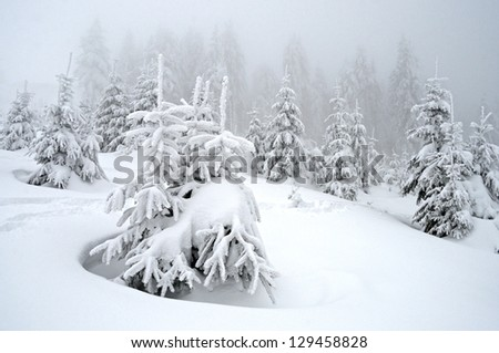 Beautiful winter landscape with snow covered fir trees and fog in Carpathians, Ukraine