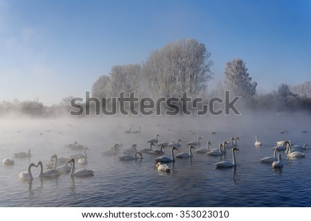 Beautiful winter landscape with swans swimming in the fog on a lake on a frosty sunny day - stock photo