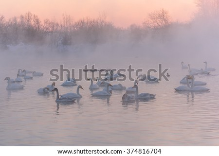 Beautiful winter landscape with swans swimming in the fog on a lake on the background of beautiful pink sunset sky - stock photo