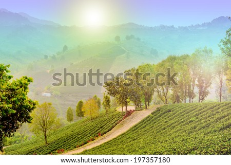 beautiful winter mountain the sunshine with tea coffee farm ,rainbow landscape amazing of Thailand ,trees ,plant with light special - stock photo