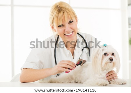 Beautiful woman grooming maltese dog.