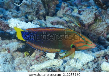 BEAUTIFUL WRASSE FISH SWIMMING CLOSE TO CORAL REEF