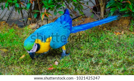 Beautiful yellow and blue macore parrot bird in the green garden.