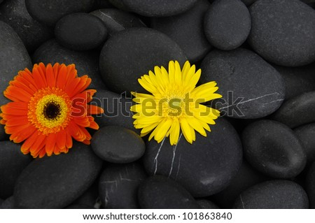 Beautiful yellow and pink gerbera and black stones