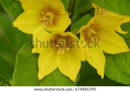 Beautiful yellow bells flowers summer garden stock photo edit now beautiful yellow bells flowers in the summer garden mightylinksfo