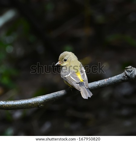 Beautiful yellow bird, female of Yellow-rumped flycatcher (ficedula zathopygia) perching on a branch with green background
