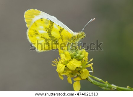 beautiful yellow butterfly on green background.Anthocharis belia