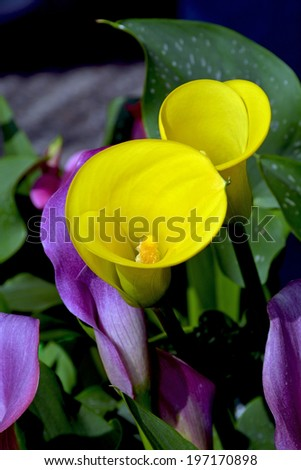 Beautiful yellow calla lily flowers in spring - stock photo
