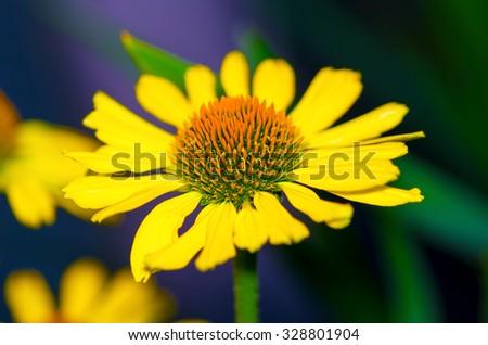 beautiful yellow chamomile - stock photo