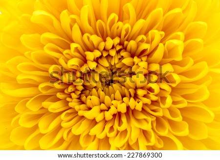 Beautiful yellow chrysanthemum closeup