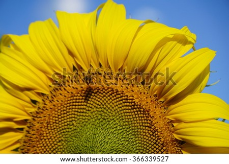 Beautiful  yellow  color  sunflower  blooming  splash  to  sunlight  close up  to  pollen  with bee flying  through.