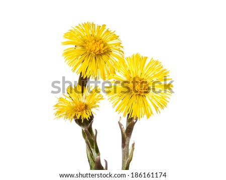 beautiful yellow coltsfoot flower isolated on white background - stock photo