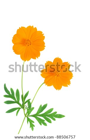 Beautiful yellow cosmos flower on white background.