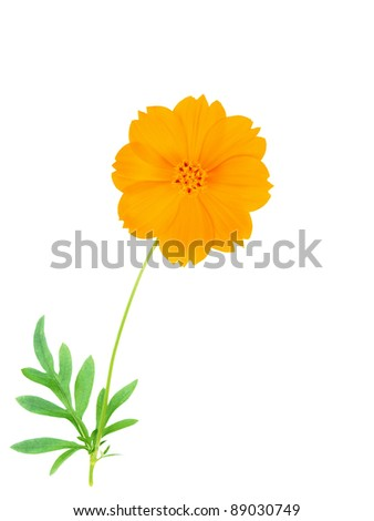 Beautiful yellow cosmos flower on white background