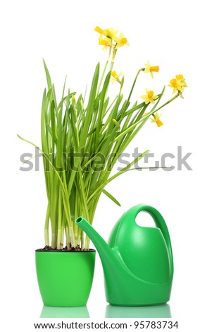 beautiful yellow daffodils in flowerpot and watering can isolated on white - stock photo