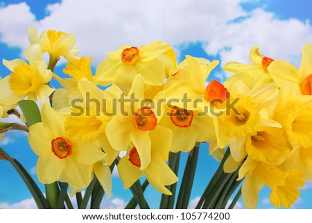 beautiful yellow daffodils  on blue sky background - stock photo