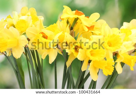 beautiful yellow daffodils  on green background - stock photo